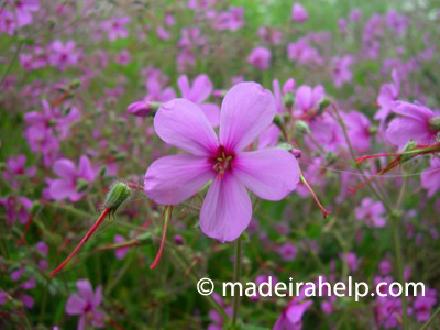 Madeira Geranium