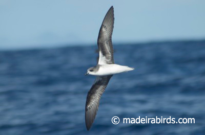 Zino's petrel, Madeira